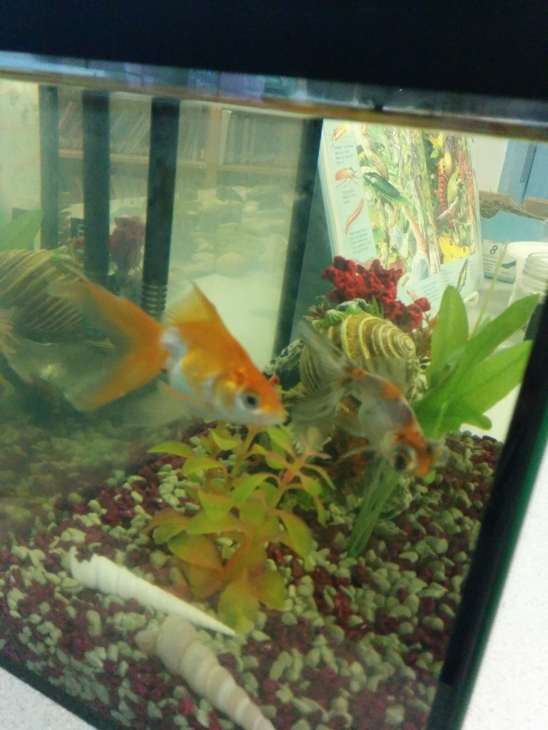 Students named the goldfish, Tigger and Goldie.